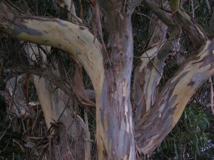 Eucalyptus tree trunks and branches