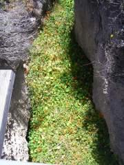 Wild Nasturtiums